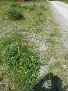 Blommor i vägkanten